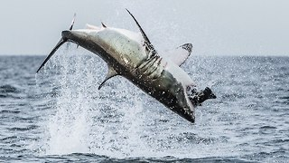 Great White Shark Breaches Off South Africa's Coast - Video