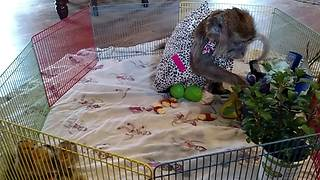 Monkey throws tantrum when Easter Bunny lets her down - Video