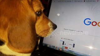 Beagle is completely mesmerised by movement of computer mouse
