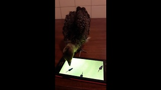 Baby peacock enthusiastically plays smartphone game - Video