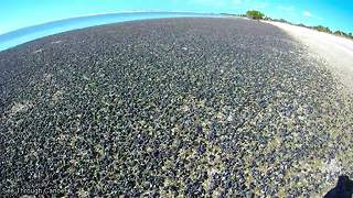 Thousands of cerith snails invade beach in Florida - Video