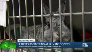 Hundreds of rabbits recovered from home in Gilbert