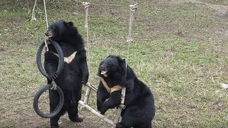 Rescued Bears Enjoy Freedom With Friendly Playtime