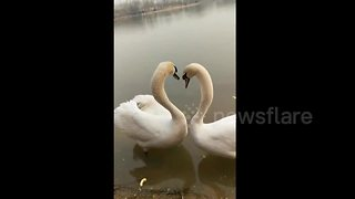 Swans' amazing synchronized mating ritual caught on camera - Video