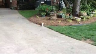 Clever Squirrel With Two Legs Does Handstand to Get Around - Video