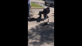 Firefighter rescuing ducklings get attacked by mama duck