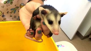 Baby opossums miraculously rescued from decomposing dead mother - Video