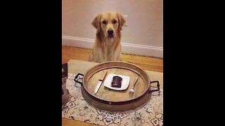Golden Retriever enjoys special dinner meal