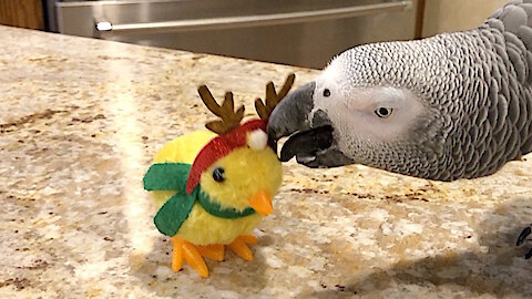 Parrot goes to battle with reindeer impostor