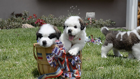 5 St. Bernard Puppies in a Basket