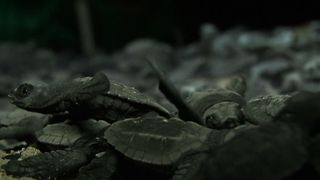 Baby Turtles Hit The Beach - Video
