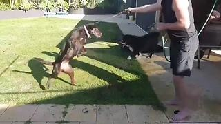 Dog goes crazy for water hose playtime - Video