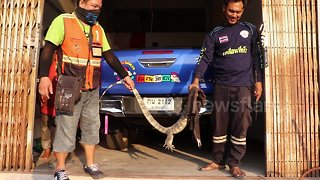 Driver finds 5ft long monitor lizard hiding under his car