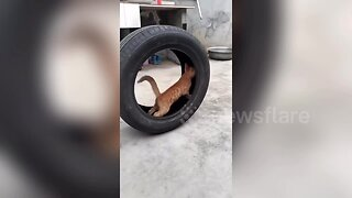This cat thinks it's a hamster! Feline runs on the inside of tyre in China