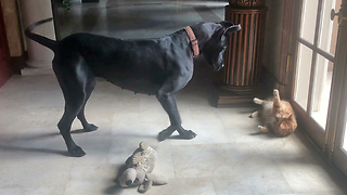 Funny Great Dane and Cat Love to Play Together  - Video