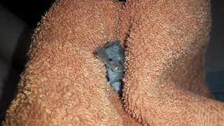 Rare rescued shrew has no reason to be blue  - Video