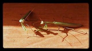 meeting of two praying mantises - Video