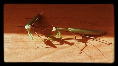 meeting of two praying mantises