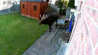 Moose on the Loose: Police pursue moose across runway into residential area