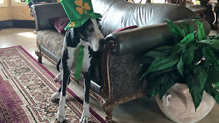 Festive Great Dane Models In Her St. Patrick's Day Costume - Video