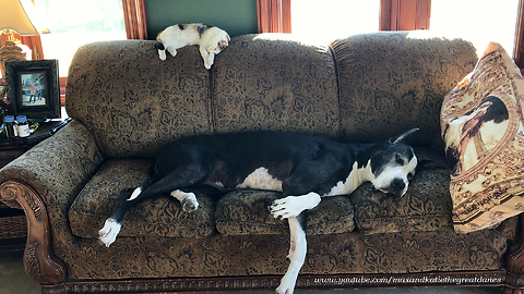 Great Danes and Cat Enjoy Lazy Day in the Art Studio