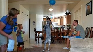 Dog Discovers the Joys of Playing With a Balloon - Video