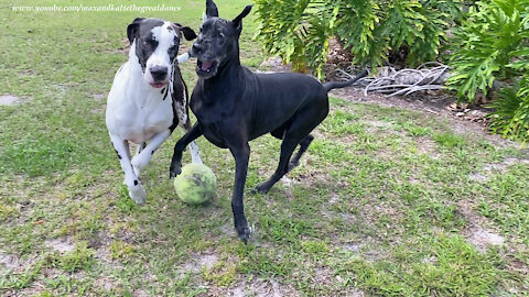 Funny Great Danes Argue Over Jumbo Tennis Ball