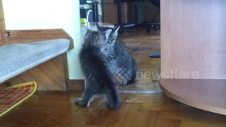 Curious kitten's hilarious reaction to seeing self in mirror