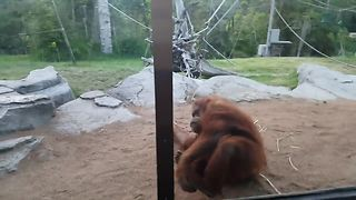 Silly orangutan won't stop performing somersaults