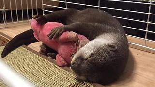 Otter Can't Fall Asleep Without Cuddling Stuffed Animal