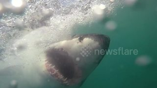 Chilling Footage Shows Huge Great White Sharks Taking Bait - Video