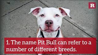 12 Fun Facts about the Pit Bull | Rare Animals - Video