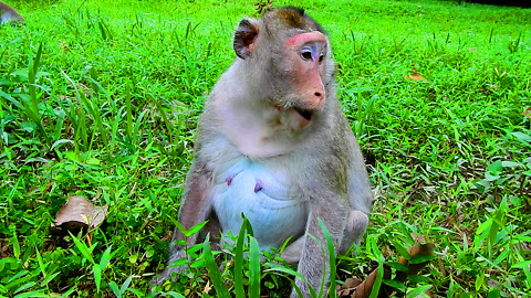 Monkey Pregnant Eat Green Grass So Delicious