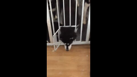 Clever huskies escape gate with ease