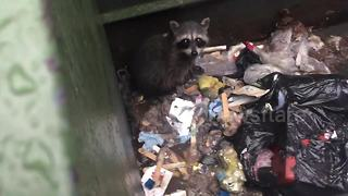 Good Samaritan rescues raccoon stuck in Starbucks dumpster - Video