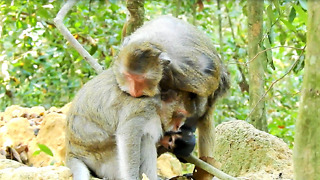 What Jollyroll Doing On Baby Monkey Ginger And Mom  - Video