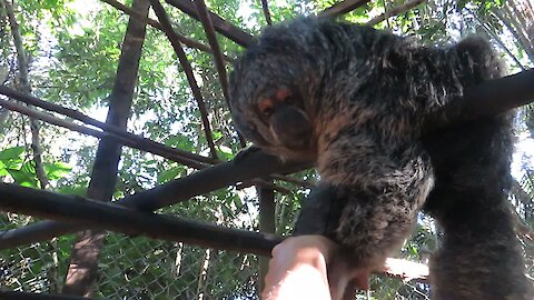 Rescued Saki Monkey wants to befriend caretaker