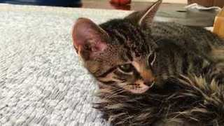 Mommy Cat Plays with Her Kittens - Video