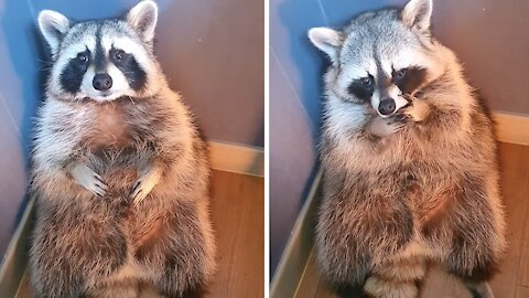 Pet raccoon sits and cries in the corner like a toddler in time out