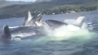 Playful Whales Show Off for Boaters in Ketchikan, Alaska - Video