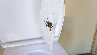Terrifying moment mum finds huge huntsman spider hiding behind toilet paper roll