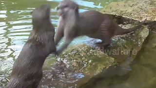 Otters have epic wrestling contest at zoo - Video