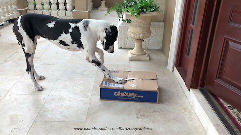 Clever Digging Great Dane Has Fun Opening A Box Of Dog Food