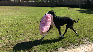 Amazing Great Dane Carries Huge Package of Peanuts  - Video