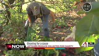 Leftover produce gleaned, collected for charity - Video