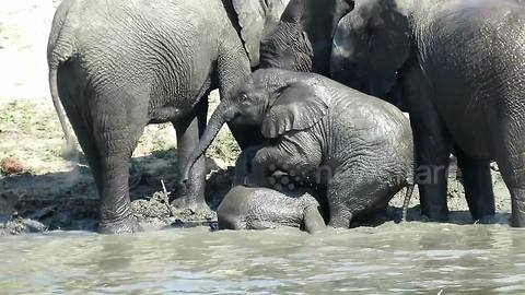 Playful baby elephant wrestles his big brother in the mud
