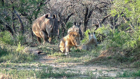Charging Rhinos Show The King Of The Jungle Who's In Charge