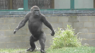 Youngster Gorilla Has The Funniest Human Walk - Video