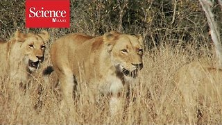Why are lions smarter than tigers? - Video