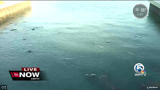 Manatees trying to stay warm - Video